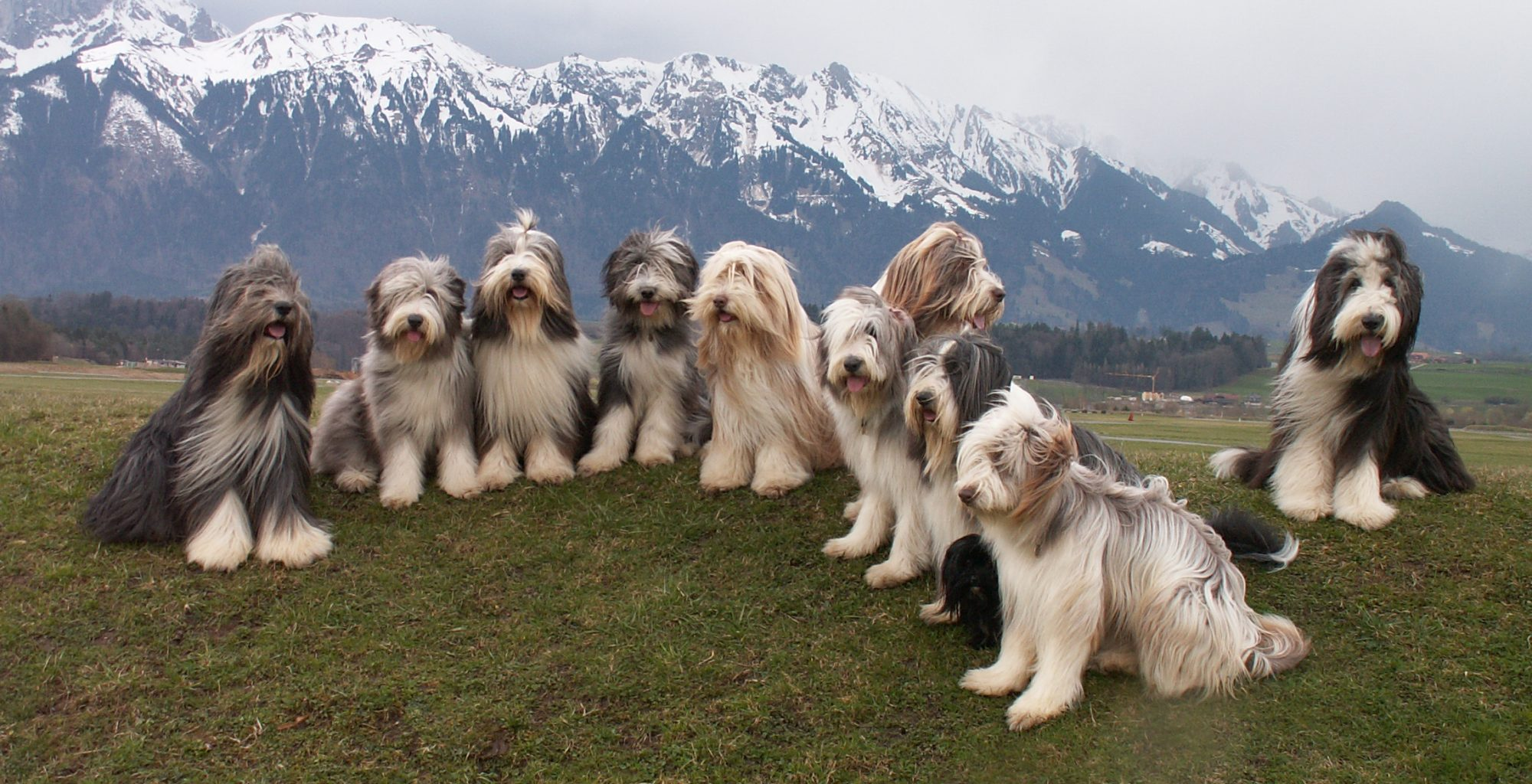 SBCC Schweizerischer Bearded Collie Club